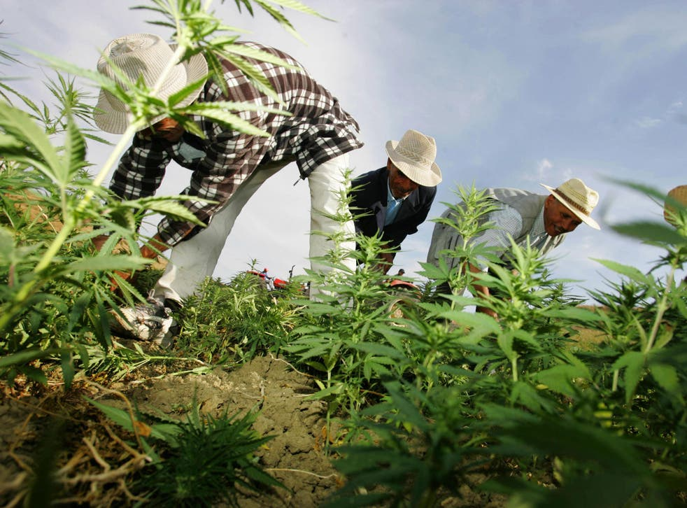 Farmers destroy cannabis plantations under Moroccan police supervision in the northern Moroccan Larache region, pictured here in 2006