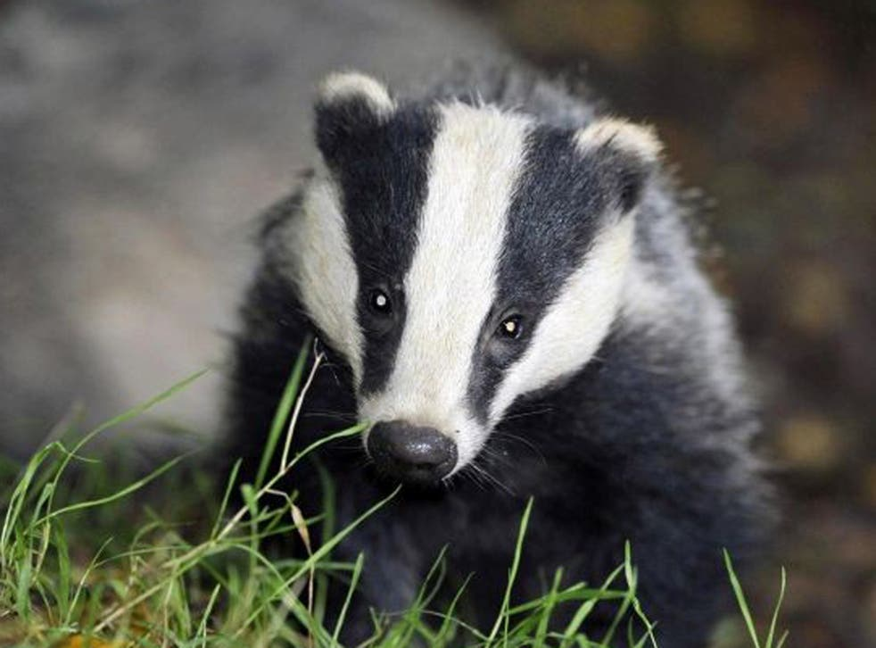 A badger had made its undergound home on a farm in the town of Stolpe in the eastern state of Brandenburg