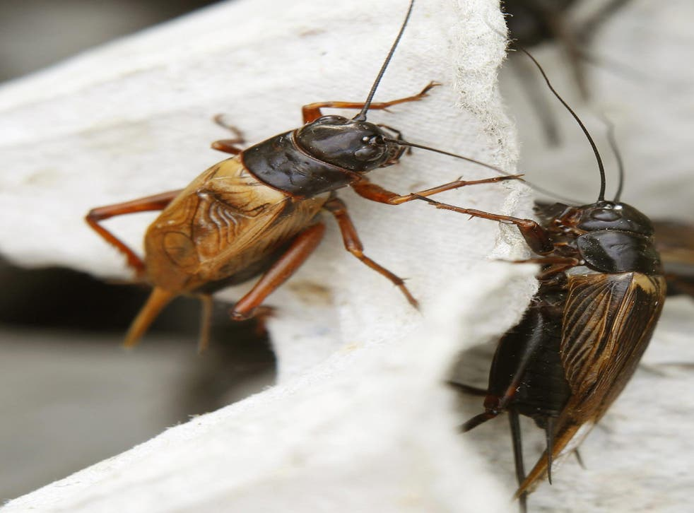 Two crickets, edible insects, sit in a cage for sale at a fresh market in Khonkaen province, northeast of Thailand