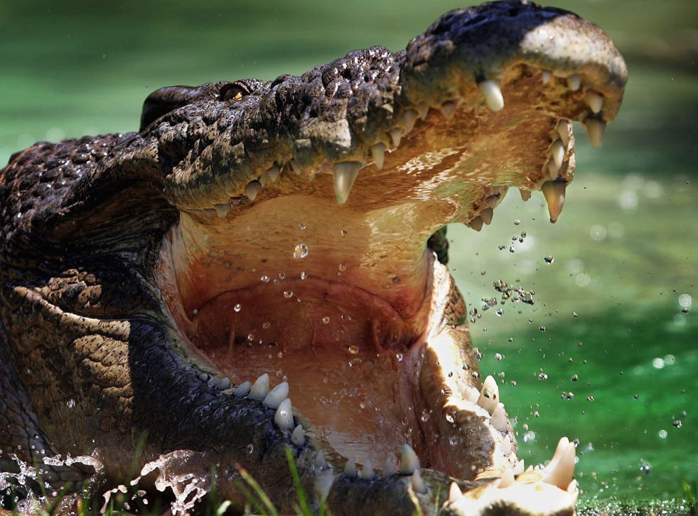 Saltwater crocodile numbers in Australia have shot up since the species was protected by federal law in 1971