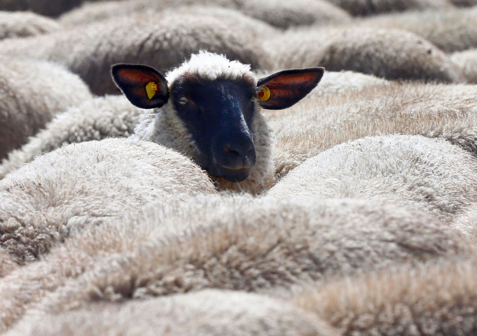 sheep sex man