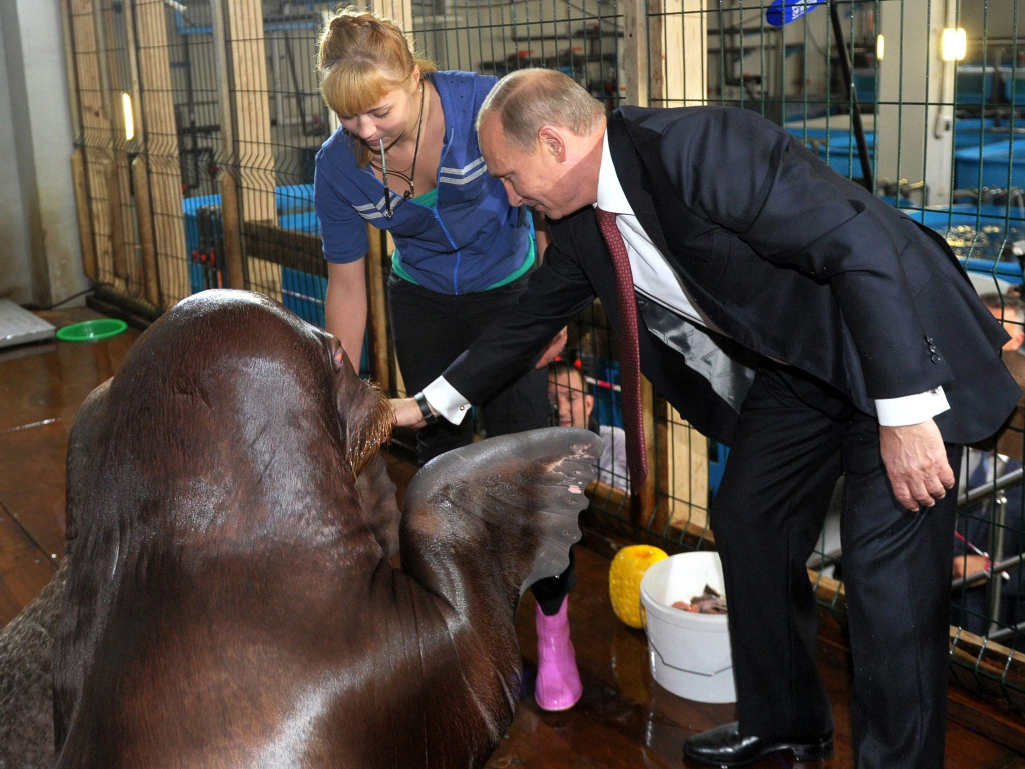 vladimir putin shakes hands with a walrus the independent