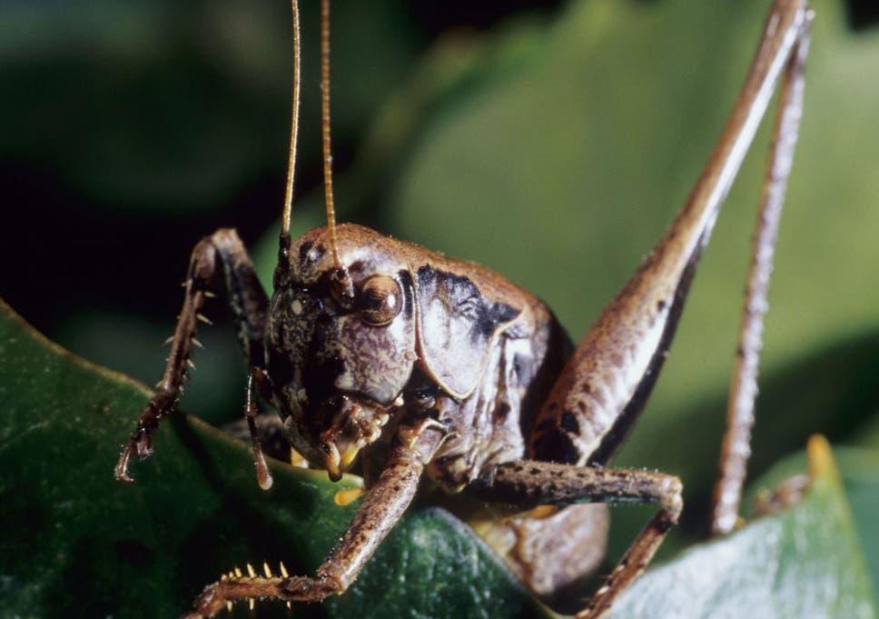 Nature Studies Why Keatss Hedge Cricket No Longer Chirrups