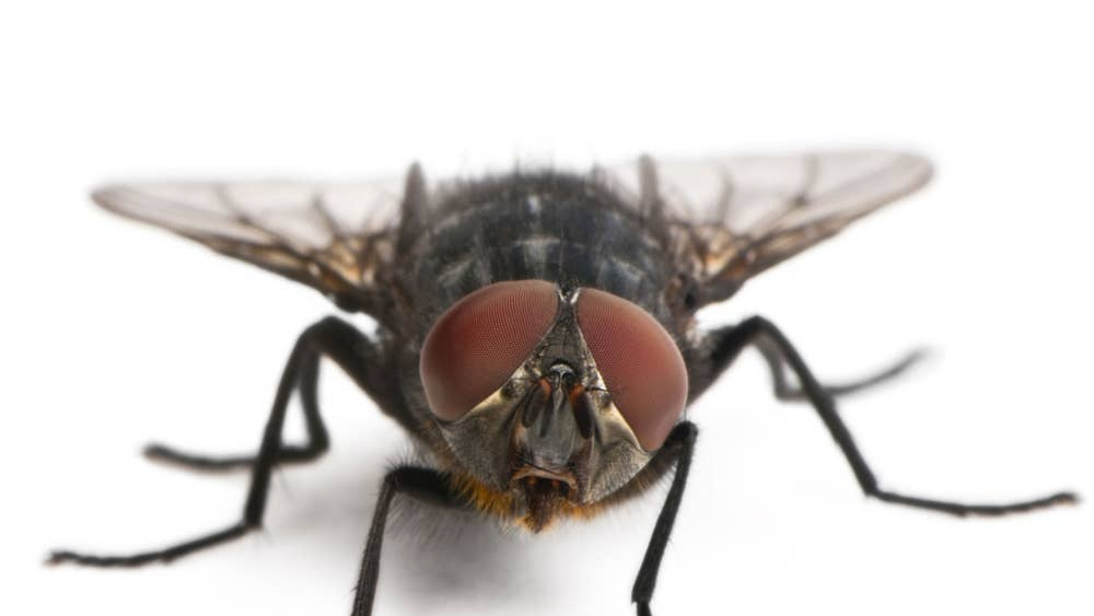 q why is it so hard to swat a housefly a it sees you coming in