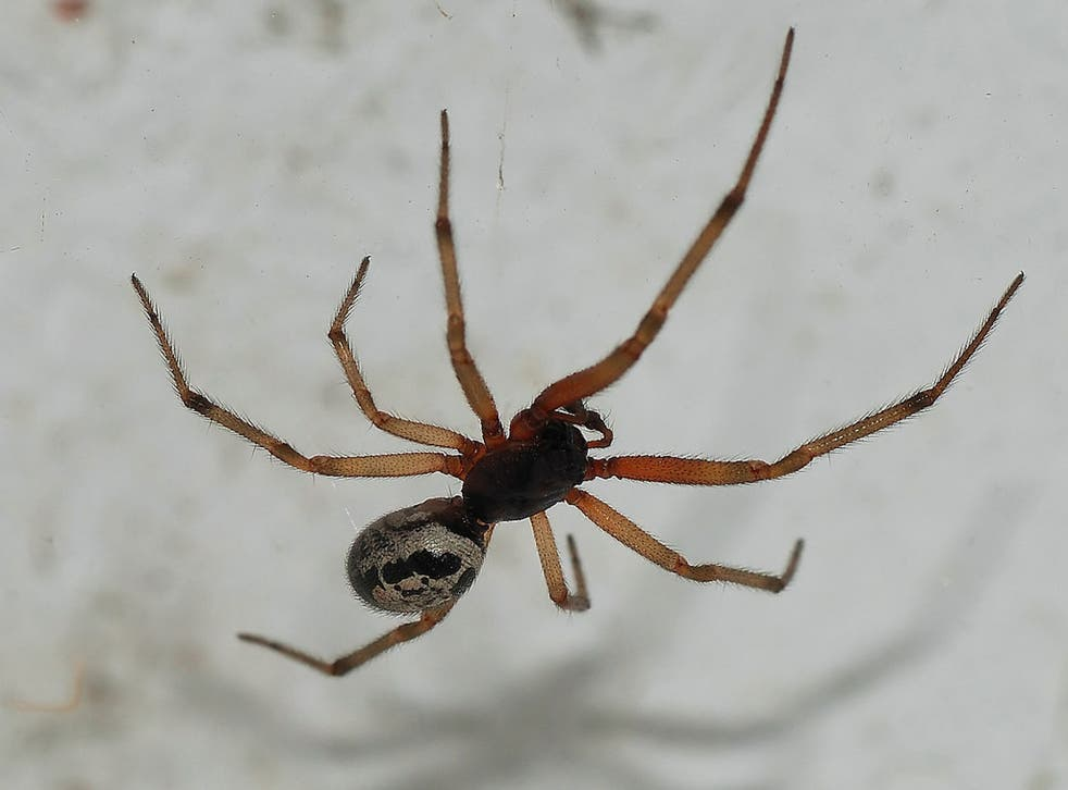 Steatoda nobilis or false widow spider