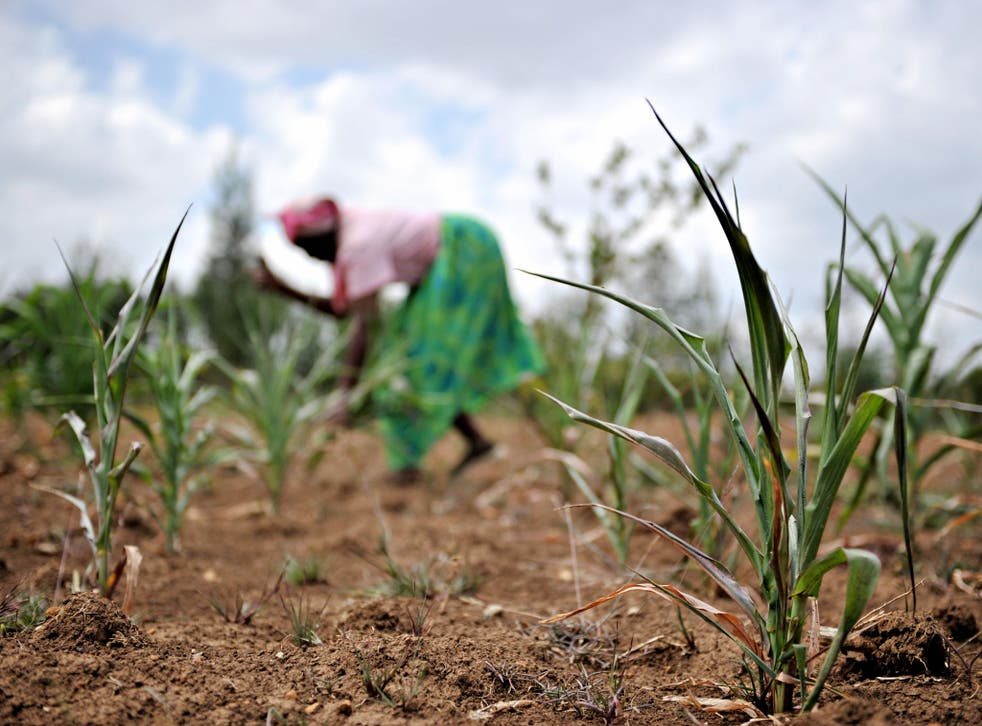 Climate change could cause crop yields of maize and wheat to fall between 10 and 20 per cent by 2050, Oxfam said