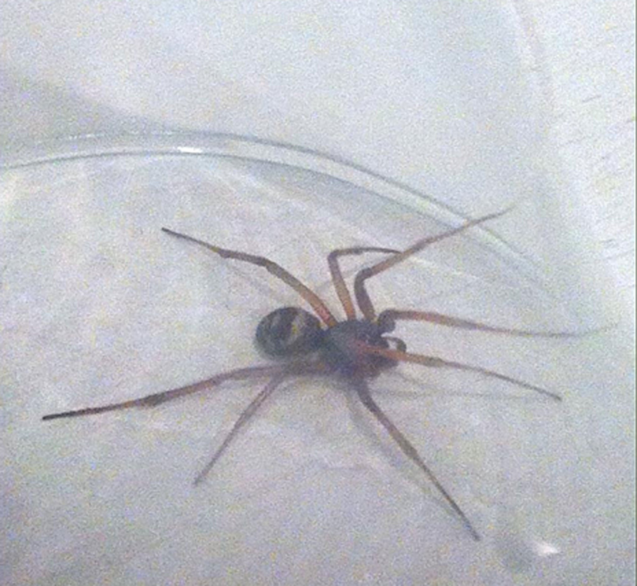 More sightings of the false widow spider as Britains most