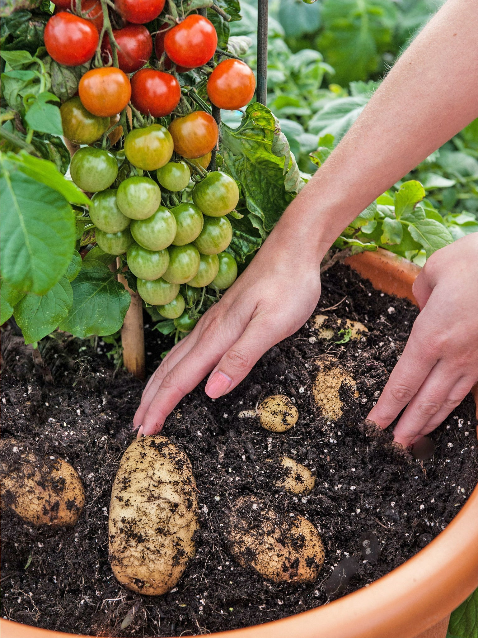 The tomtato plant which produces both potatoes and - Vitaminas para plantas de interior ...