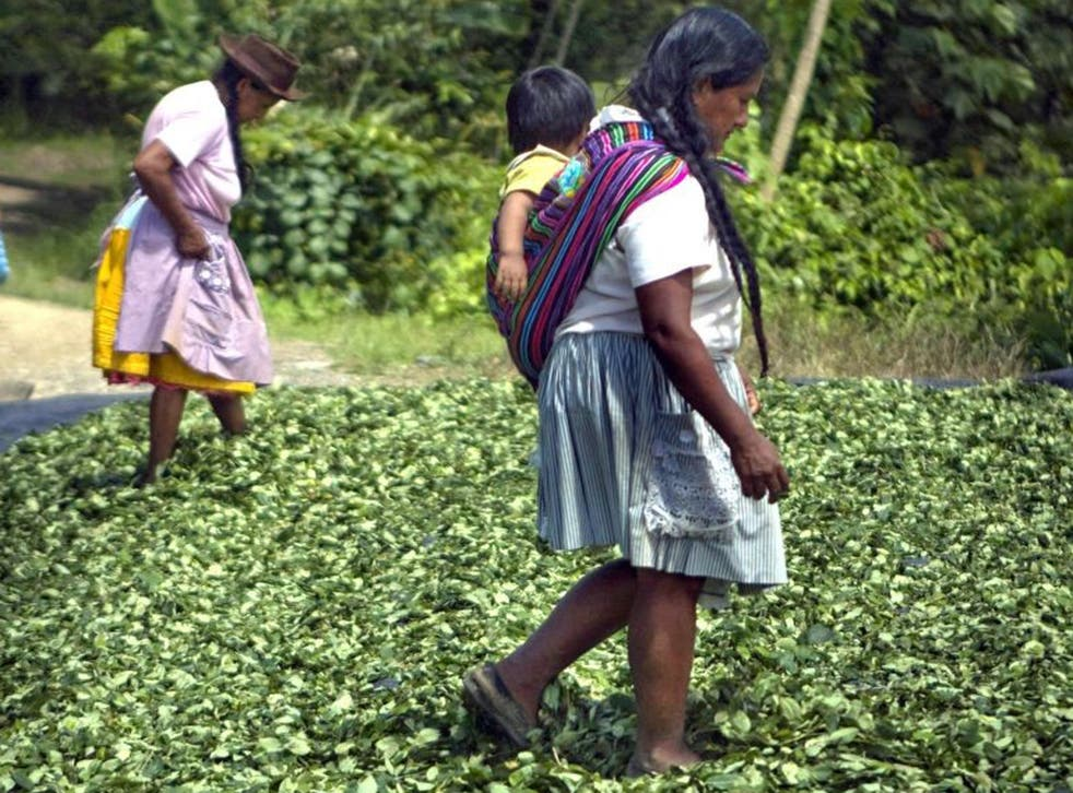 Peruvian women step on dried coca leaves before leaves are sent to clandestine labs where they will be processed and turned into cocaine