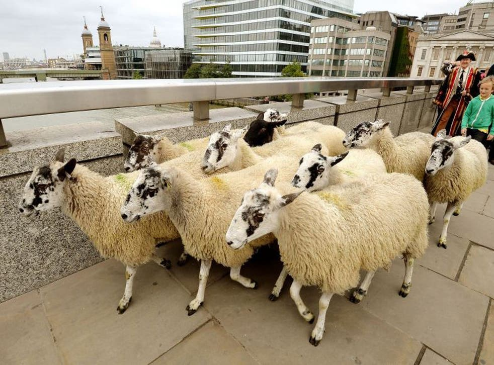 Traffic was redirected and commando squadron officers were on patrol as 20 Suffolk and Texel sheep were escorted across London Bridge