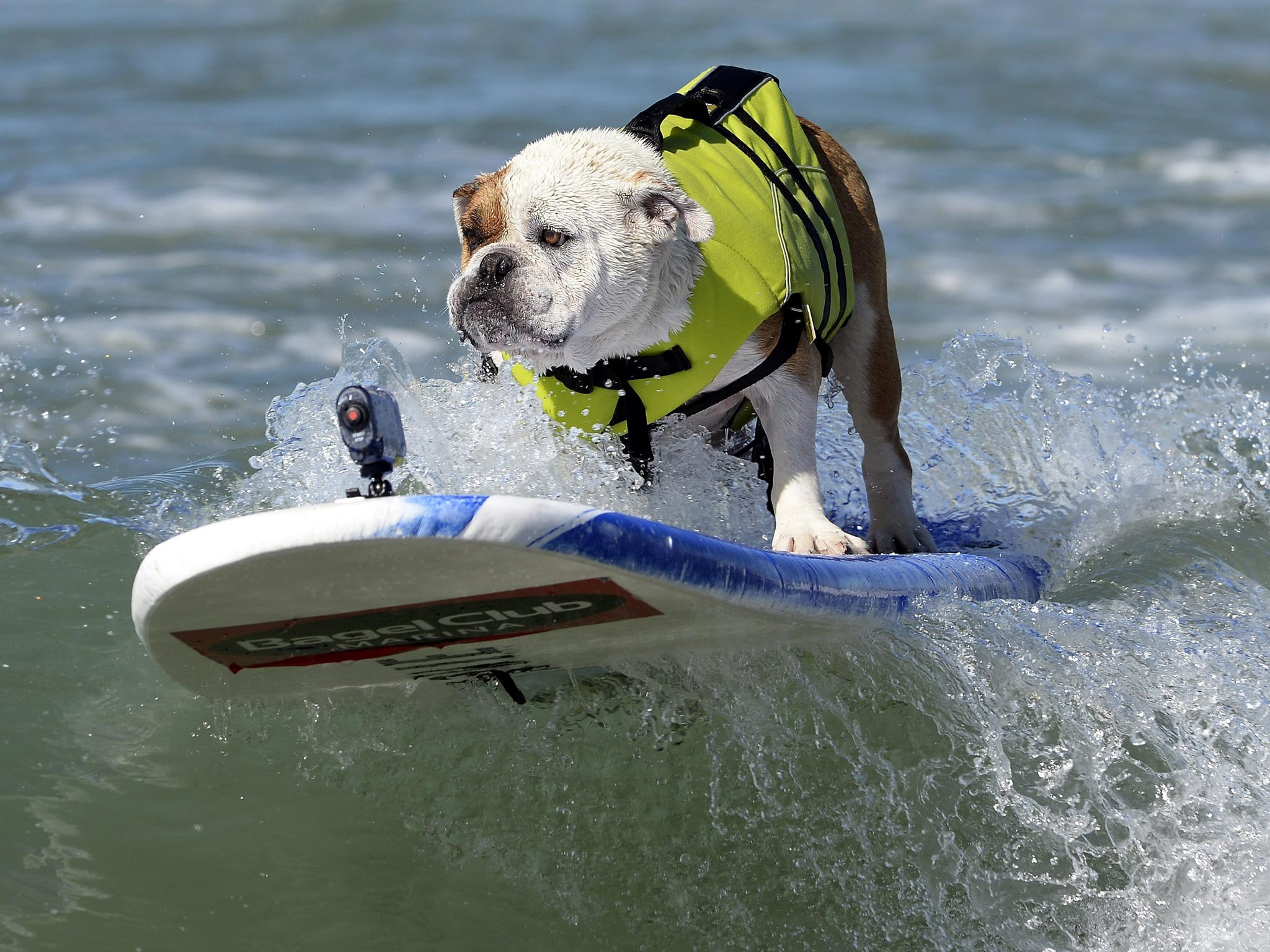 In pictures: Dog surfing championships in California | The