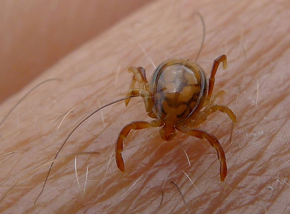 A tick of the species Ixodidae.