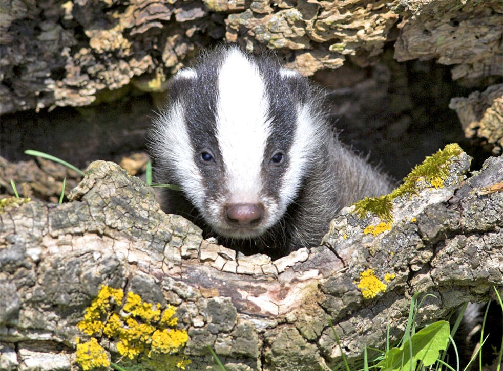 The Somerset cull resulted in 850 badgers being killed over 40 days during