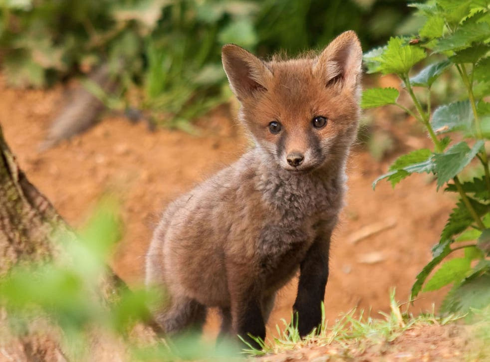 Although hunting with dogs is banned in England and Wales, an exception is made for pest control purposes