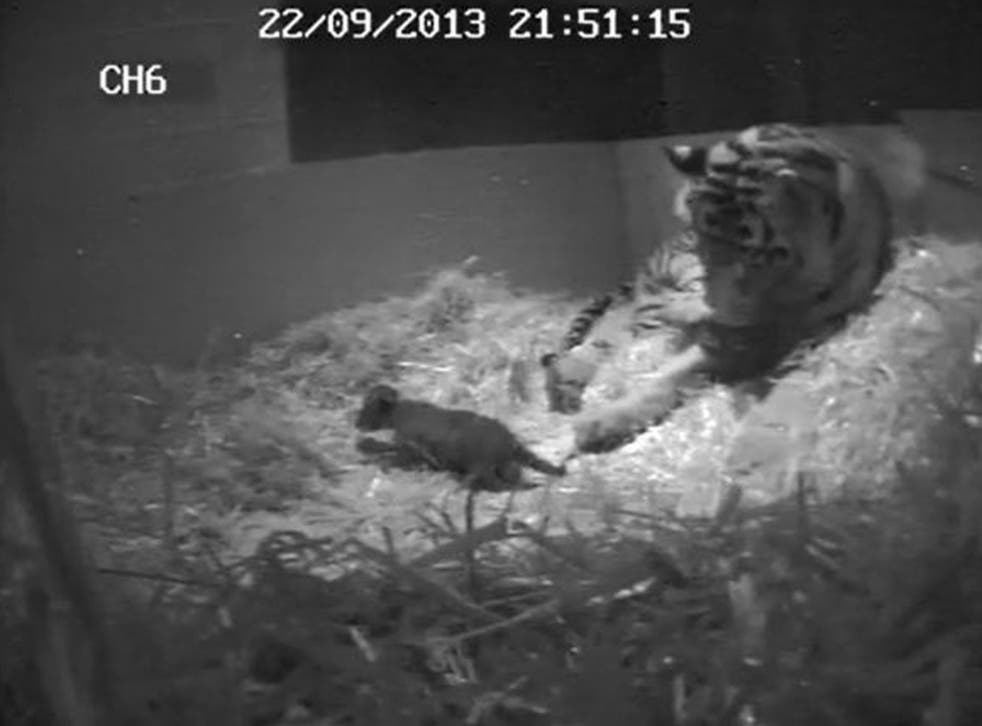 Image dated 22 September 2013 and made available by London Zoo 02 October 2013 shows the birth of ZSL London Zooís first tiger cub for 17 years which was captured on hidden cameras by zookeepers at ZSL London Zoo.
