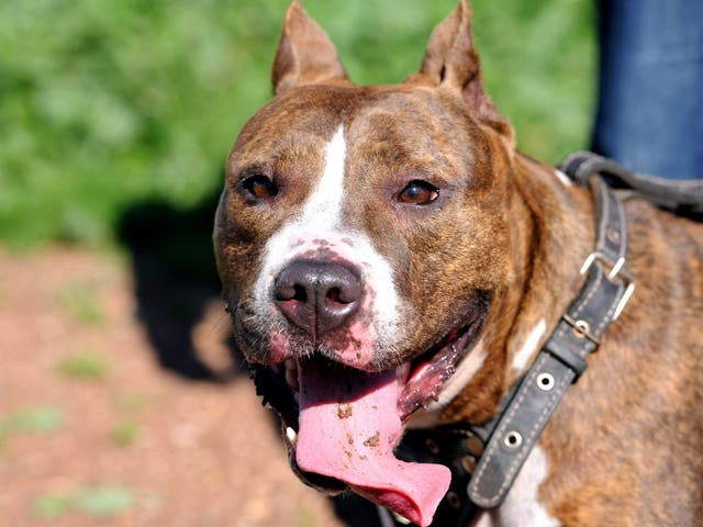 A Pit Bull terrier. Home Office Minister Norman Baker wants to make owners more accountable for their dogs' behaviour