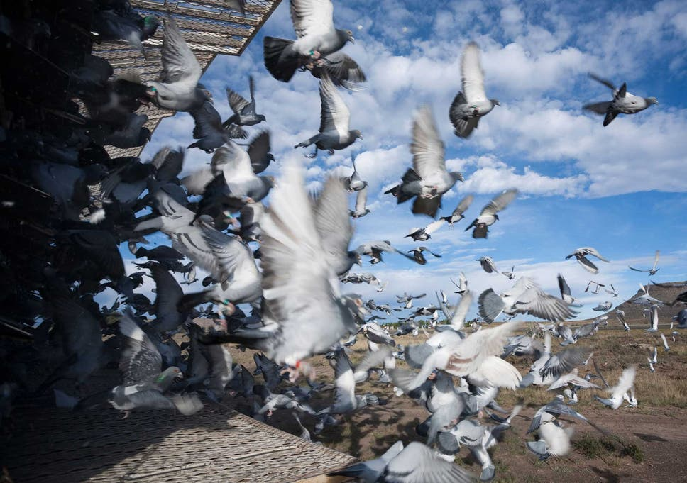 World of pigeon racing rocked by doping scandal   The