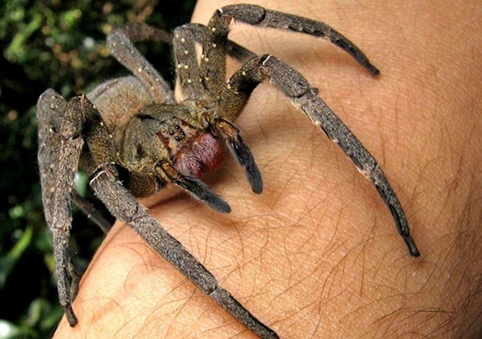The Brazilian Wandering Spider Was Found In A Bunch Of Bananas With Sac Containing Thousands