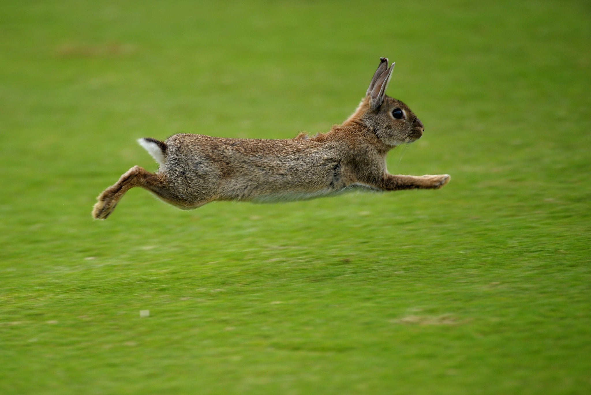 Show jumping rabbit is actually priceless | The Independent