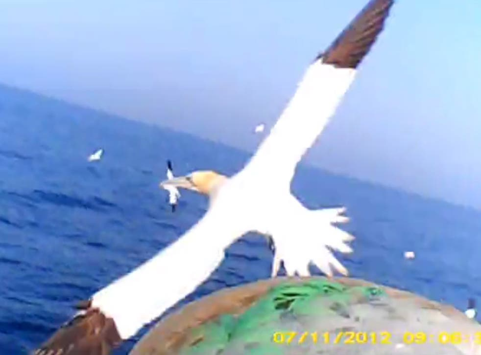 A mid-air video still of one gannet in flight taken from a camera on the back of another