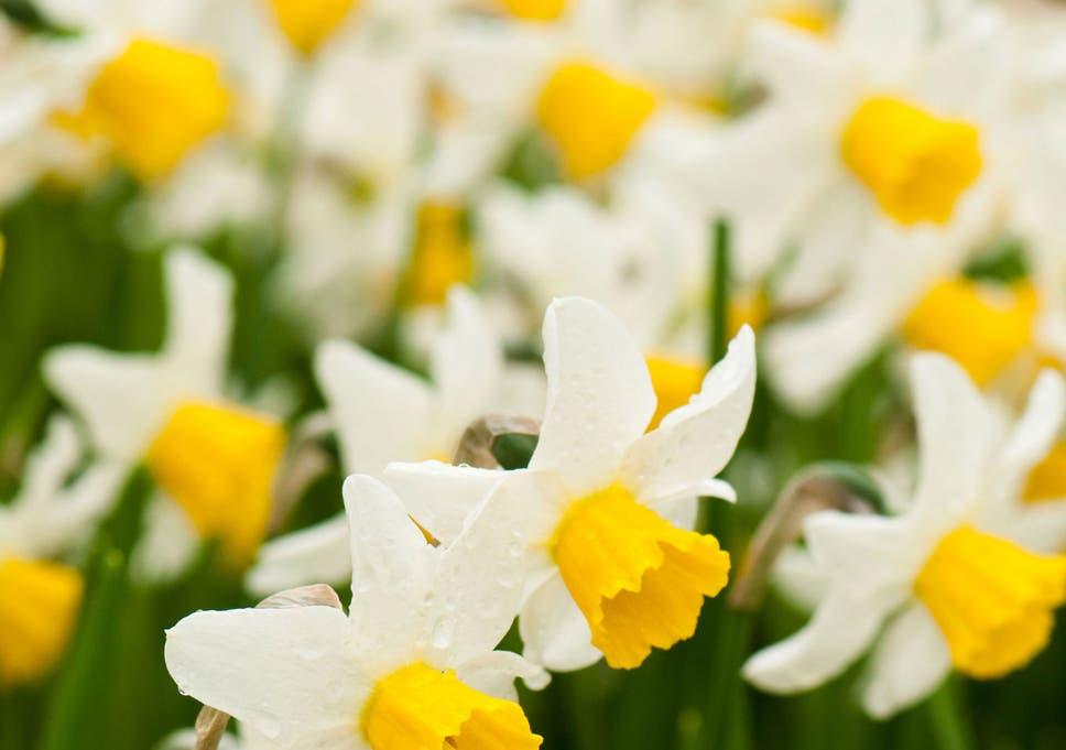 More Interesting Than Food Narcissus >> Scilly Season The Year S First Daffodils Can Be Tracked Back To The