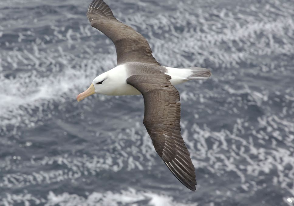 How the unflappable albatross can travel 10,000 miles in a single