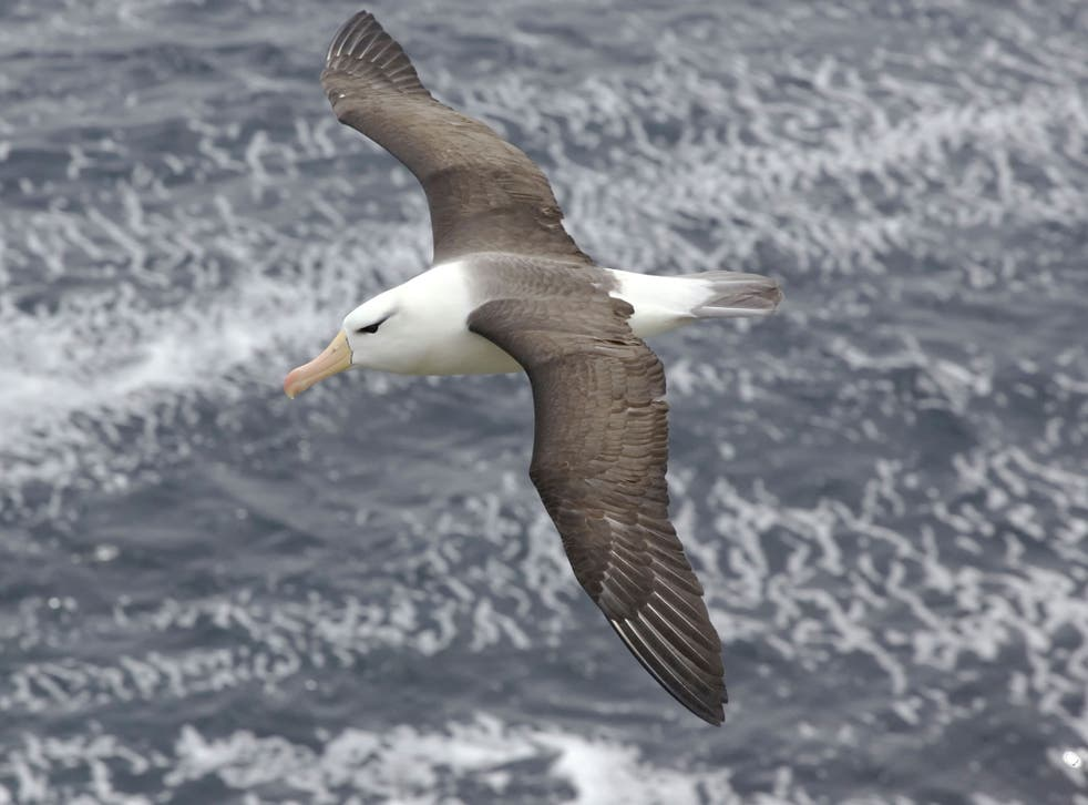 Scientists attached GPS trackers to a group of 16 albatrosses in the Indian Ocean. They recorded the birds flying at speeds of up to 67mph using a 'dynamic soaring' technique, which enables them to fly thousands of miles depending on the wind
