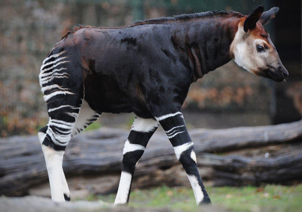 Okapi animal pictures