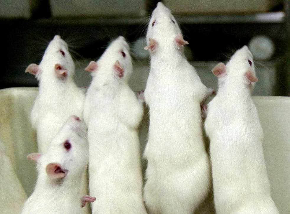 Researchers successfully manipulated the brain cells of mice to eradicate a fearful memory