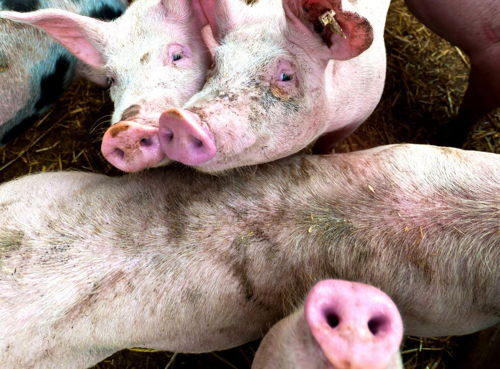 Despite being home to half the world's pigs – and the largest consumers of pork in the world - the authorities in Beijing are concerned about the quality of their stock