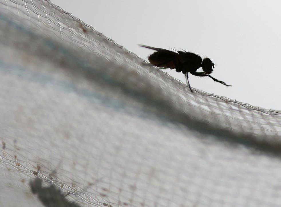 Sexually frustrated fruit flies die earlier