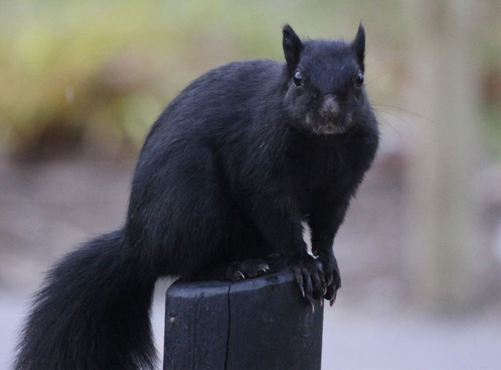 A black squirrel has become an internet sensation after footage of it repeatedly collapsing was uploaded to YouTube.
