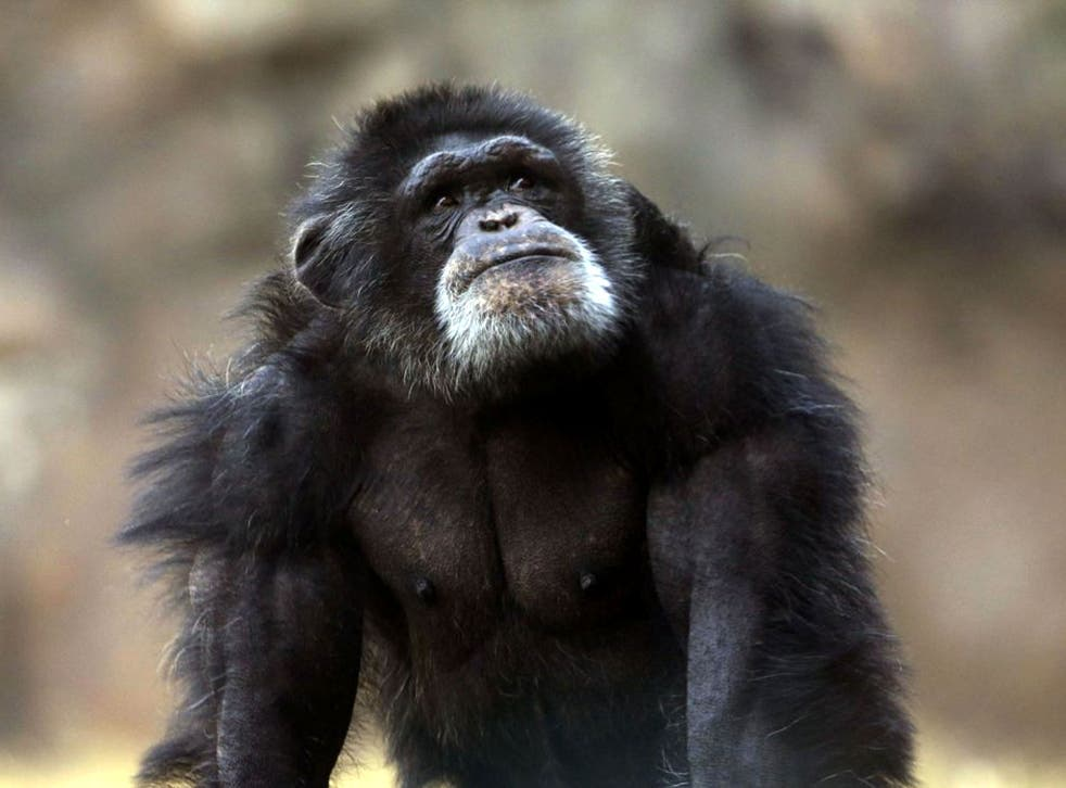 File image: An animal rights group is demanding that chimpanzees be considered 'legal persons'