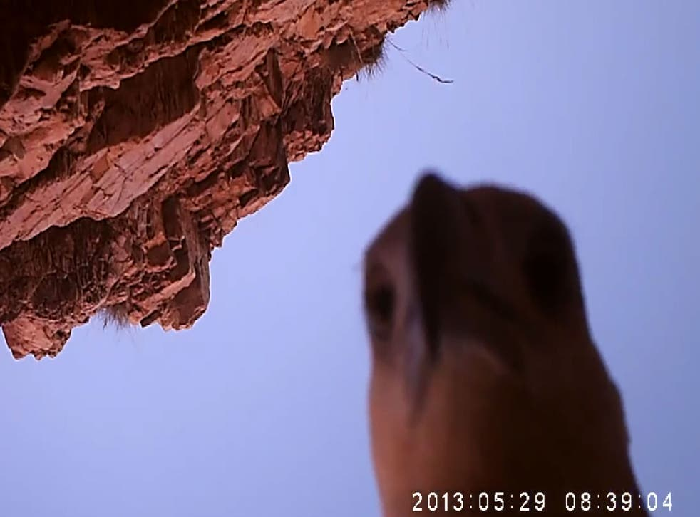The juvenile sea eagle investigates its catch.