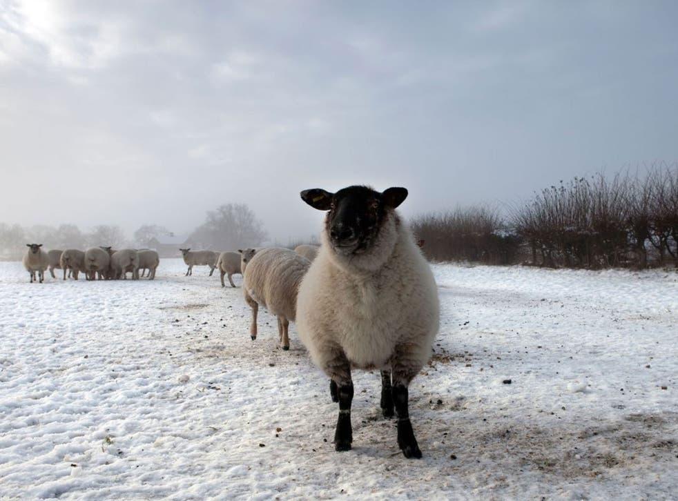 Uphill struggle: Sheep farmers lose on every fleece