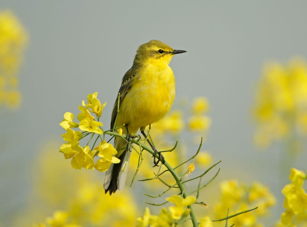 The yellow wagtail has disappeared entirely from Wales
