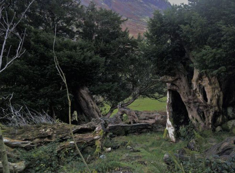 Yew trees are regenerative and many have lived for thousands of years