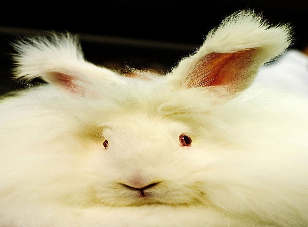 China is currently responsible for 90 per cent of the world's angora wool supply
