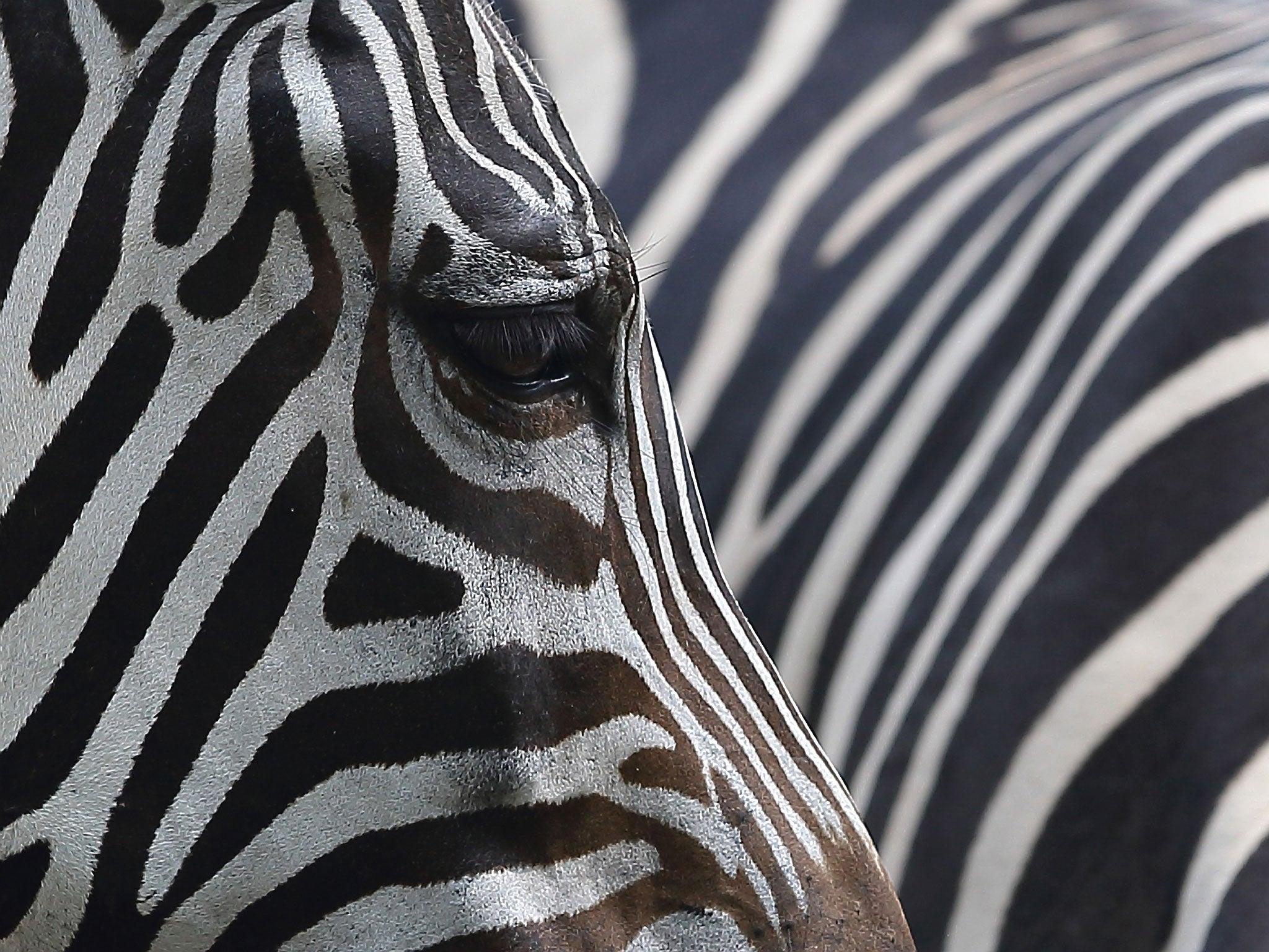 Zebra stripes explained | The Independent