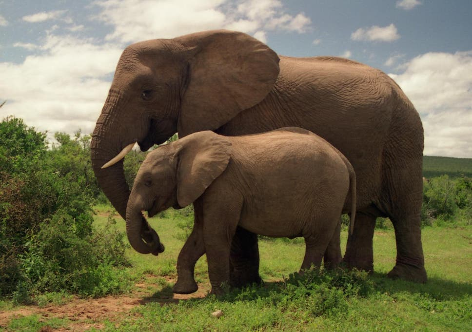 Are Elephants Mammals >> Six Facts About Elephant Families The Independent