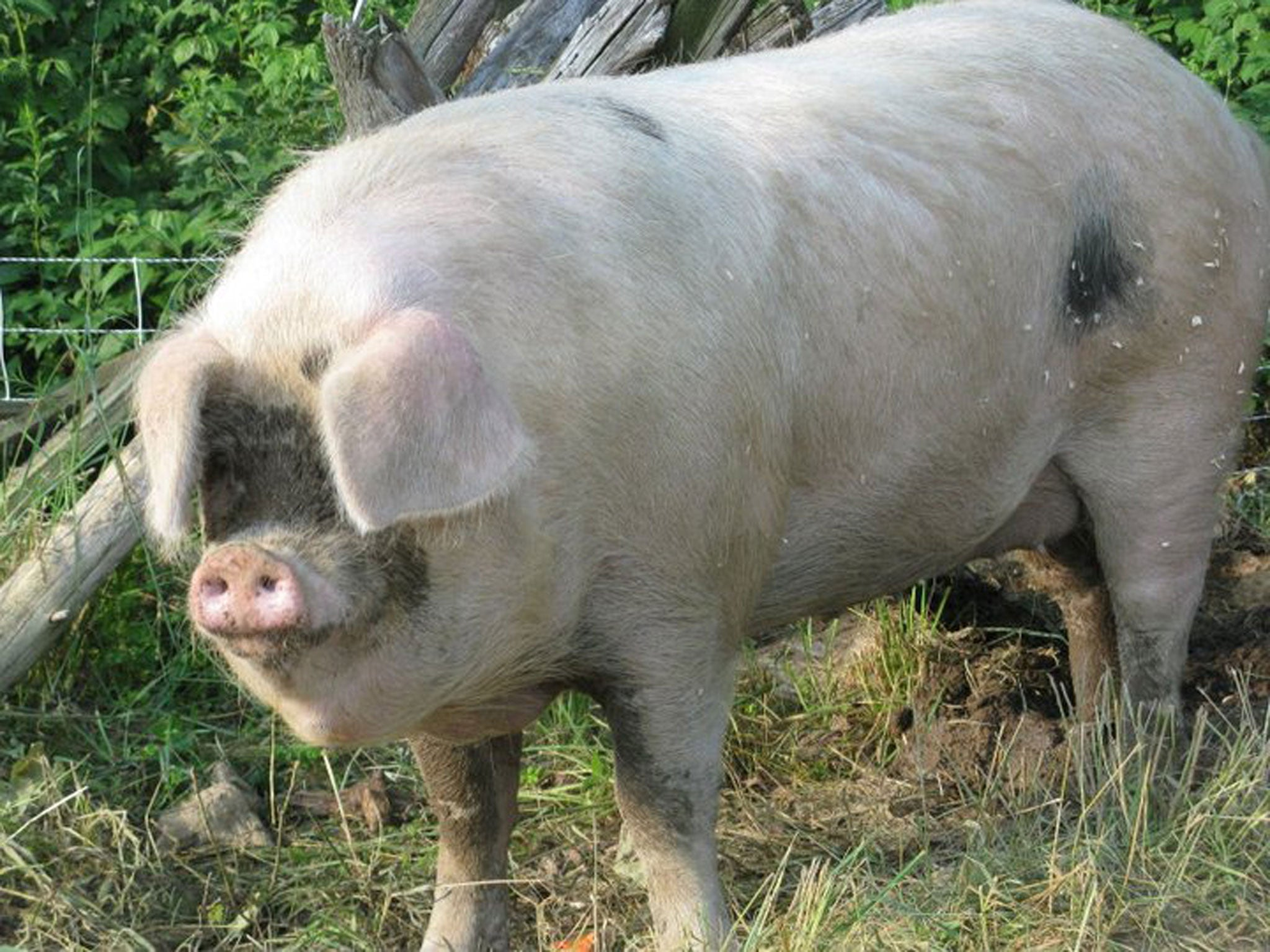 Giant Rampaging Pig Smashes Through Fence And Breaks A