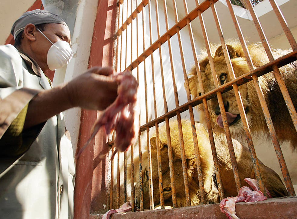 Some lions in the zoo in 2006 - animal-rights activists  have long been concerned about conditions at Giza