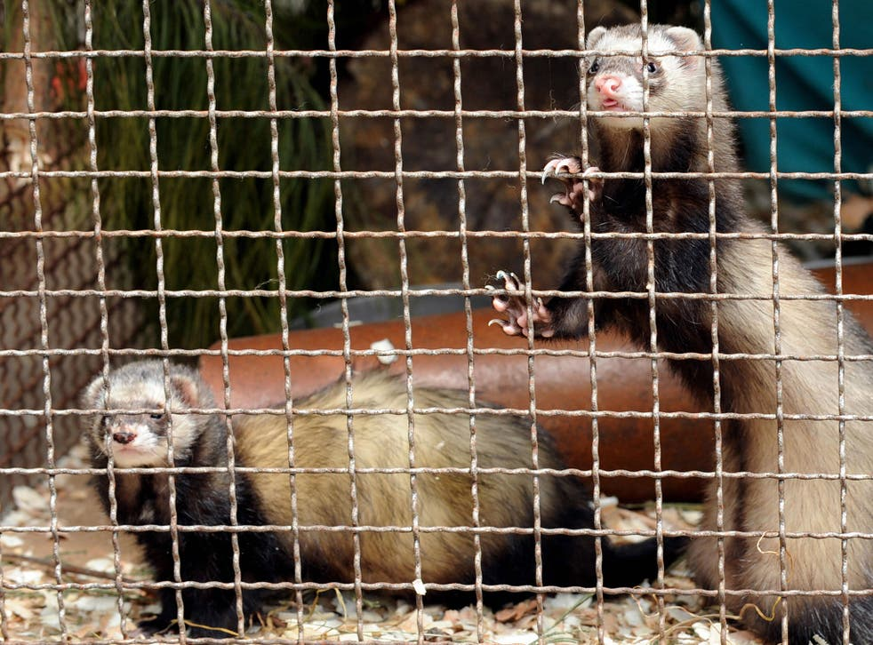 More than 50 senior scientists from 14 countries are denouncing claims that the ferret experiments are necessary for the development of new flu vaccines and anti-viral drugs