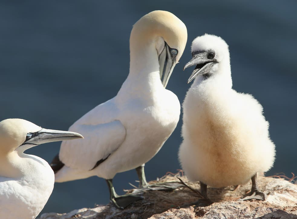 A baby northern gannet stands next to one of its parents