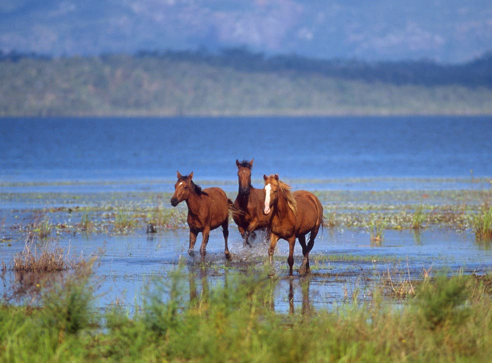 Brumbies are descendants of horses released into the wild and symbolise the romance of the outback for many Australians