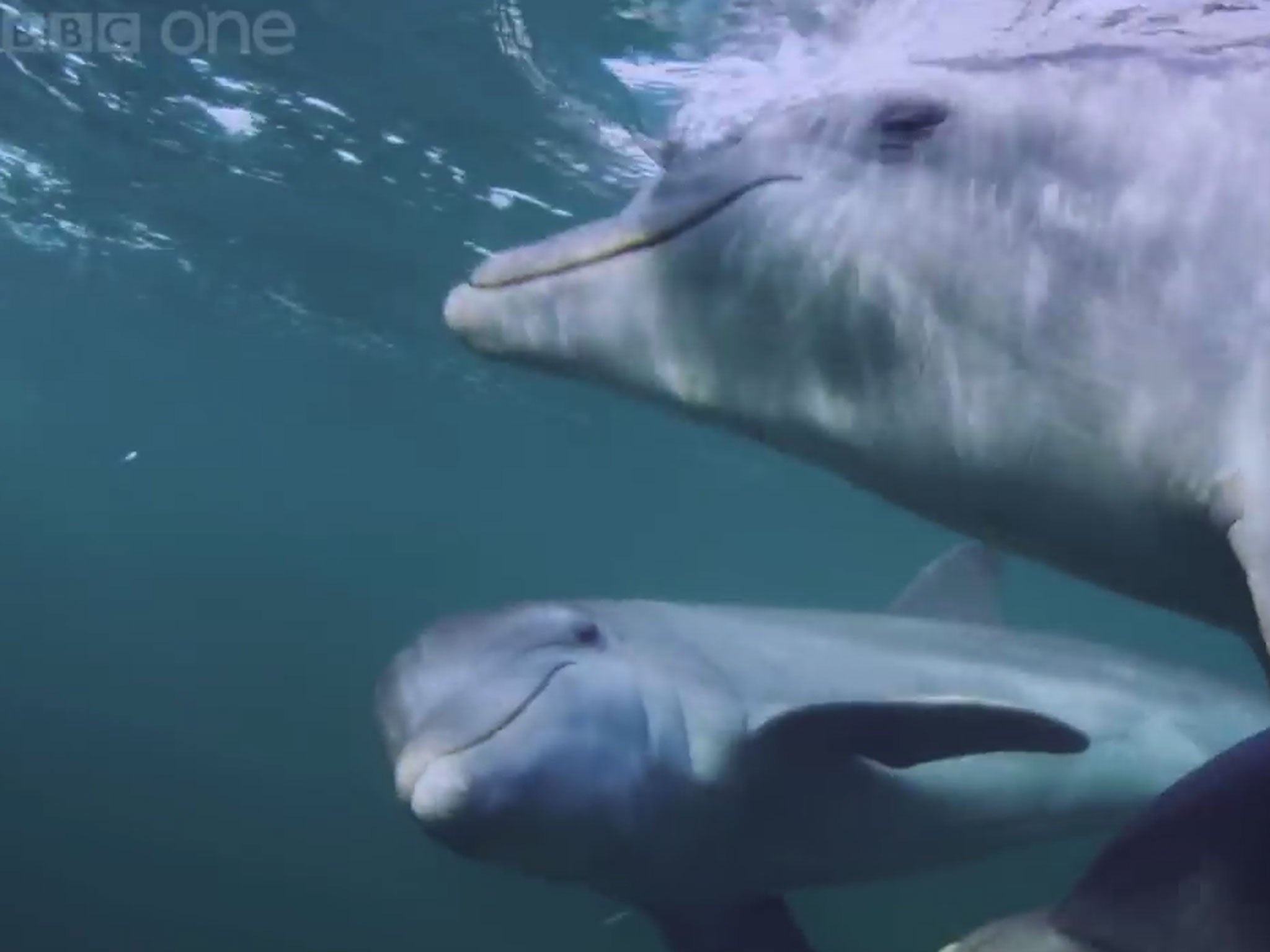 dolphins u0027deliberately get high u0027 on puffer fish nerve toxins by