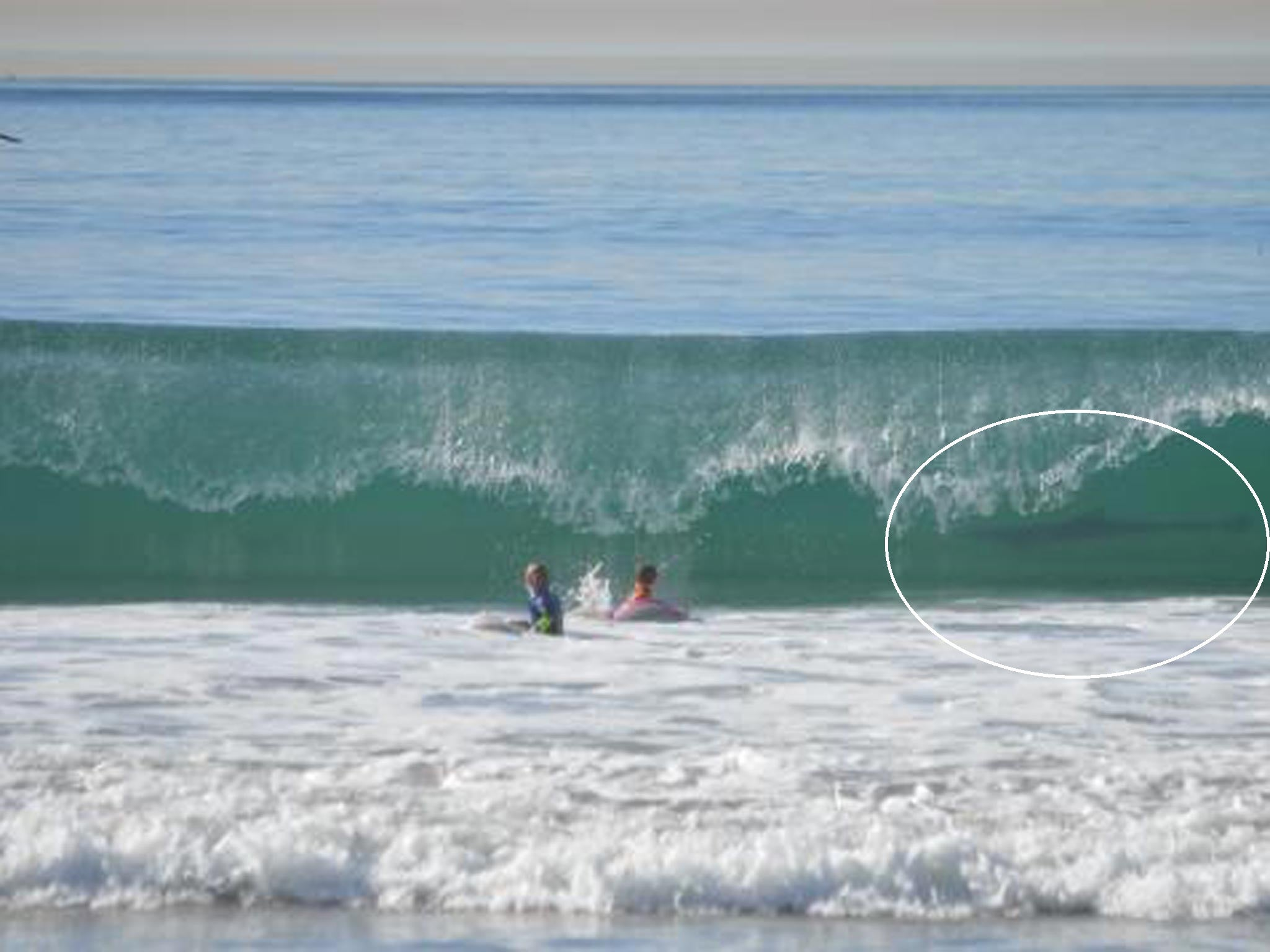 'Great white shark' photobombs two boys surfing in California as mother looks on