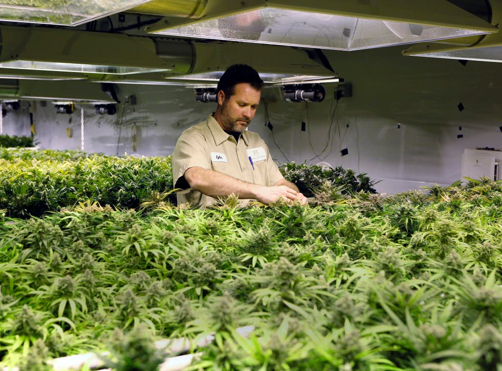 A worker at Medicine Man inspects inspects plants as they mature at the dispensary and grow operation in Denver