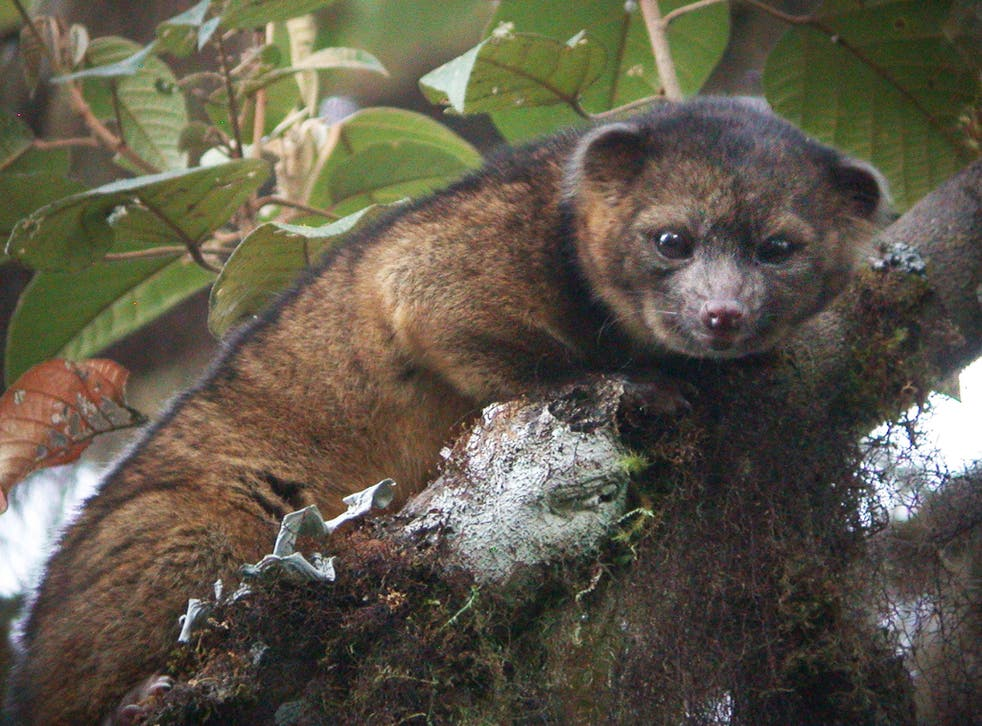 The olinguito was found in the forests of Colombia and Ecuador