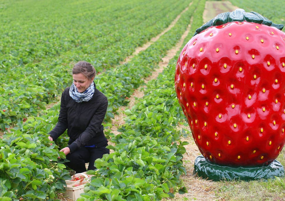 strawberries in winter welcome to franken season the independent